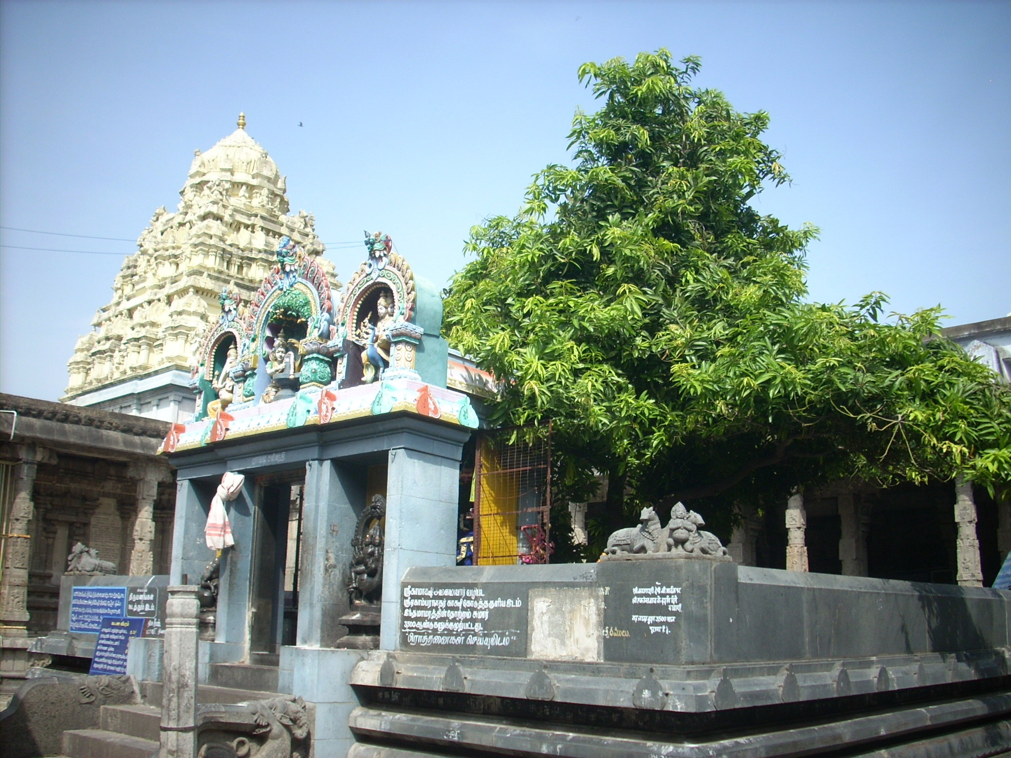 Mango Tree where Shiva and Parvathi were Married.Image.jpgT