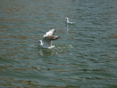 Migratory Seagulls