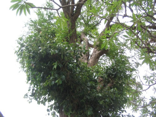 Raavi leaves on the outer tree, and bilva leave higher up